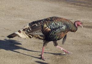 turkeyclose73